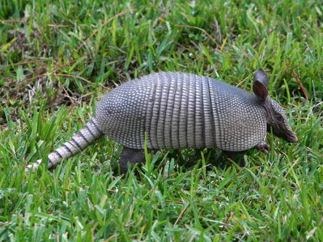 armadillo at secret key cove - florida